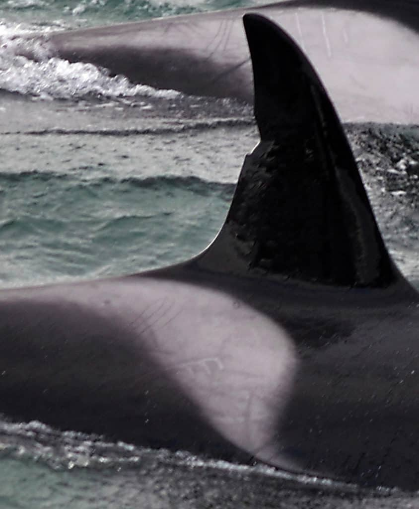 Our Orcas