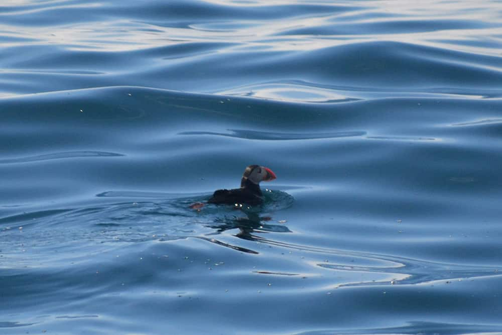 A puffin on silky calm waters