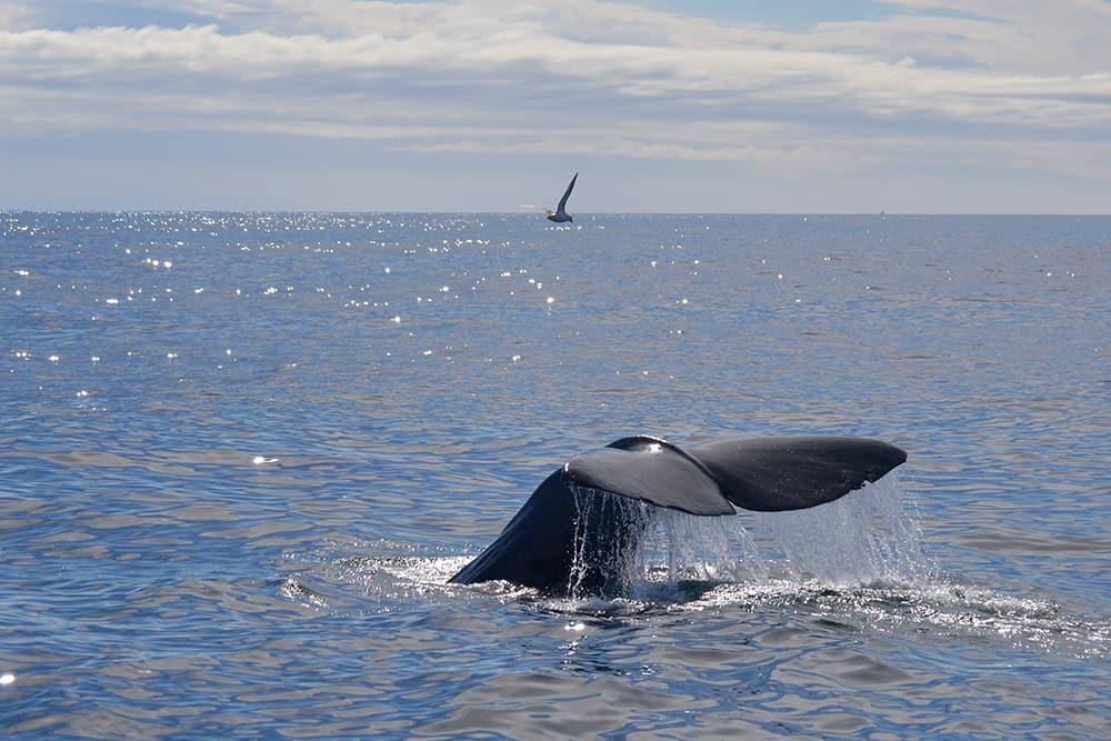 A sperm whale dives