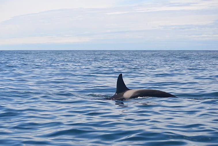 Orca in calm waters