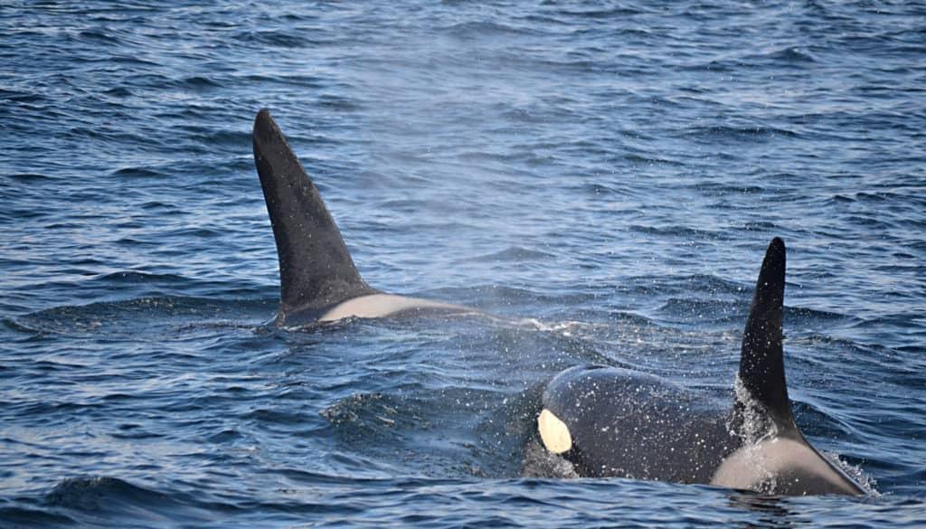 7 Orcas & 2 Stinky Minkes